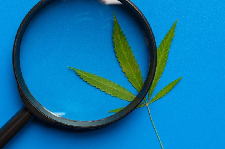 hand with a magnifying glass looking at the cannabis hemp leaf on blue color background