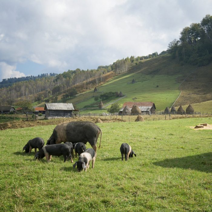 Group of Iberian pig in the meadow in the mountains.
