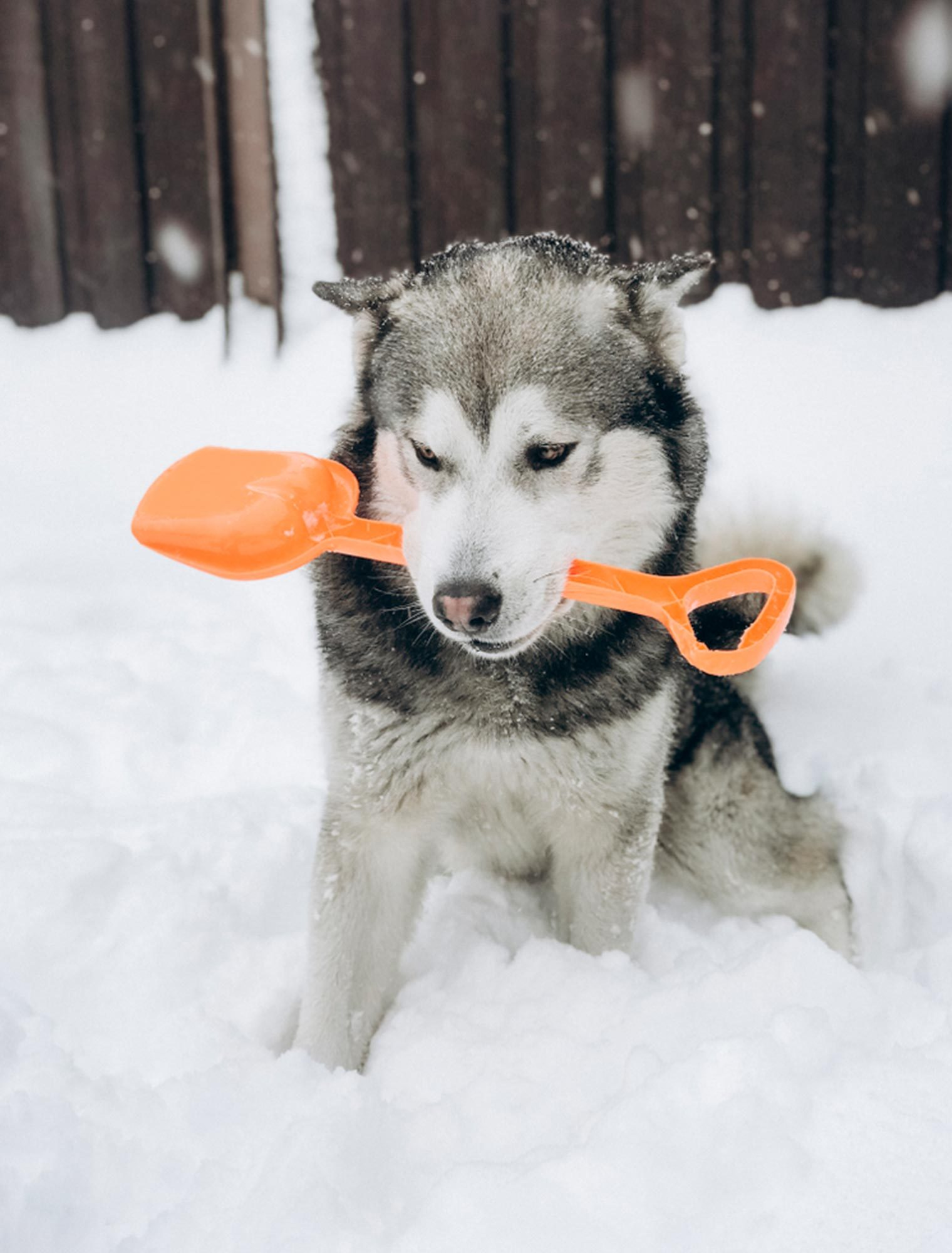 Husky dog in snow