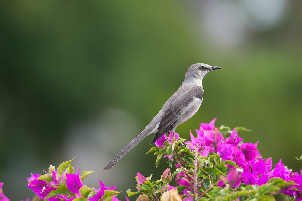 Northern Mockingbird, state bird of Arkansas, Florida, Mississippi, Tennessee and Texas, member of the Mimidae family.