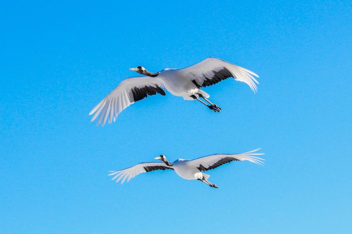 Red-crowned crane,