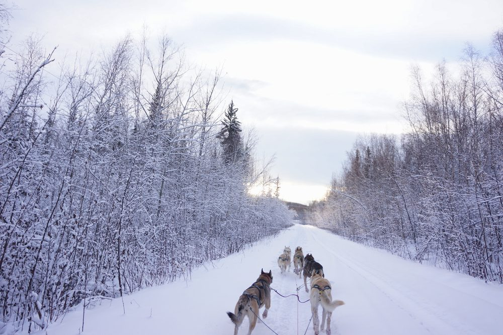 Dog sledding in a forest covered by a lot of snows in Fairbanks, Alaska