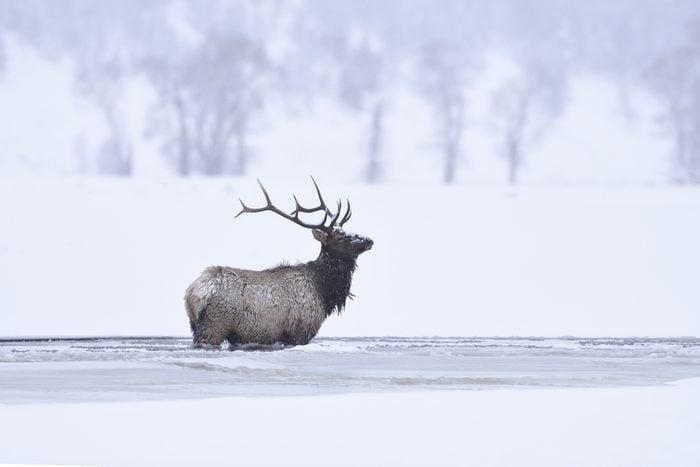 Winter bull elk standing in frozen lamar river, Yellowstone National Park