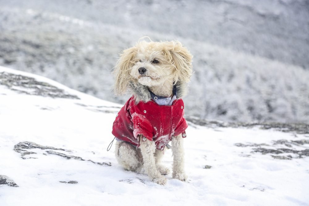 Small poodle mix hiking Mount Mansfield, Vermont, in the snow