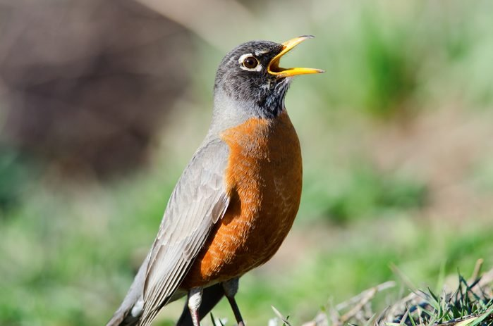 Singing a Song. The American robin is the state bird of Connecticut, Michigan and Wisconsin.