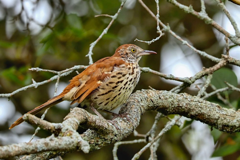 brown thrasher (Toxostoma rufum) The brown thrasher is noted for having over 1000 song types, and the largest song repertoire of birds