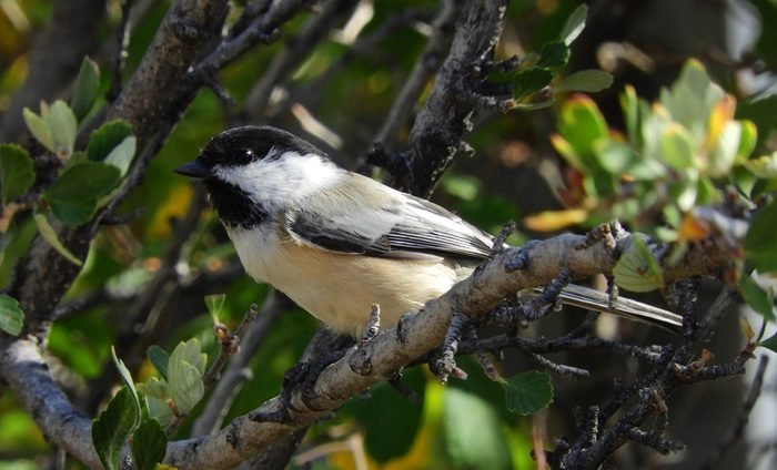 closeup of black-capped chickadee in the forest of the randall davey audobon center and sanctuary near santa fe, new mexico