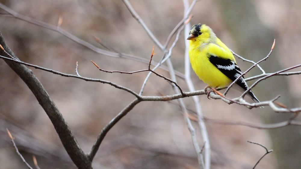 The American Goldfinch, also known as the Eastern Goldfinch, is a small North American bird in the finch family.