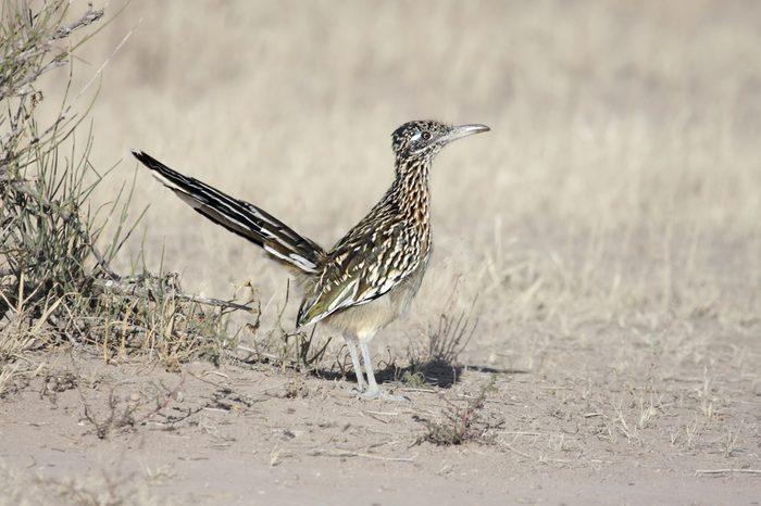 Greater Roadrunner (Geococcyx californianus) in the New Mexico desert