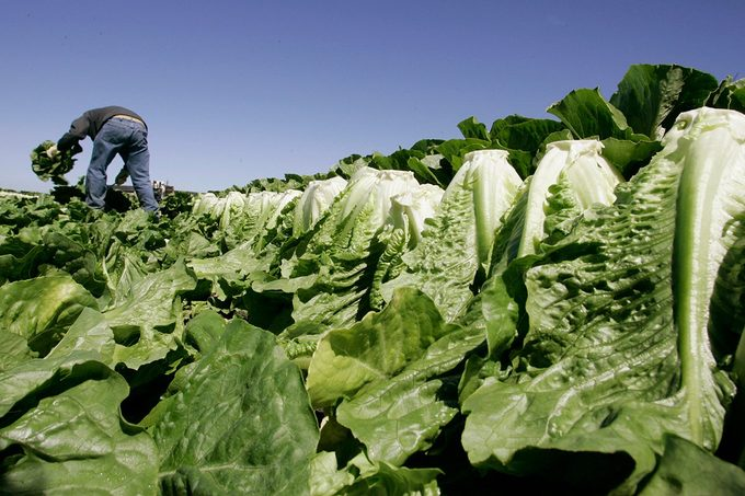 A worker harvests romaine lettuce in Salinas, Calif.
