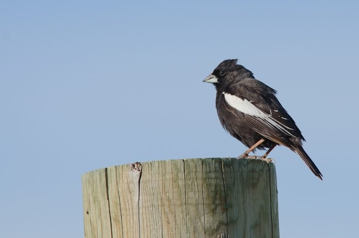 Lark bunting on post, state bird of Colorado