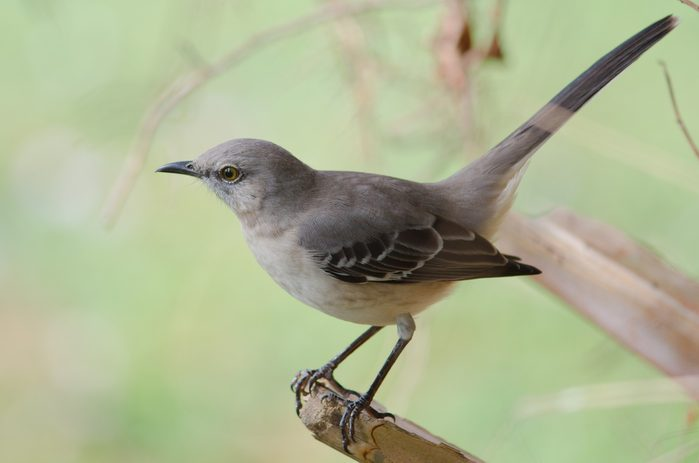 Northern Mockingbird perched on tree branch, state bird of Arkansas, Florida, Mississippi, Tennessee and Texas.