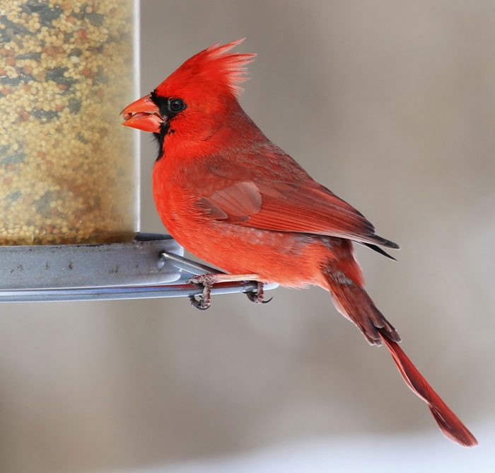 Feeding Male Northern Cardinal