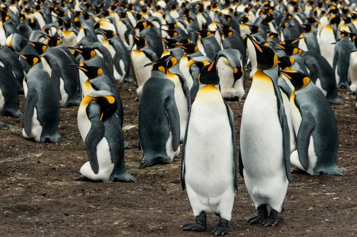 Pair of breeding Kin penguins in a rookery on Volunteer Point, Falkland Islands standing huddled together on foreground