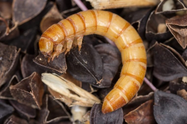 Mealworms are the larval form of the mealworm beetle, Tenebrio molitor, a species of darkling beetle pest of grain and grain products as well as home products, on buckwheat