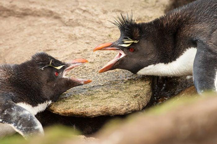 Close-up of two Southern Rockhopper penguins arguing between each other, Falkland islands.
