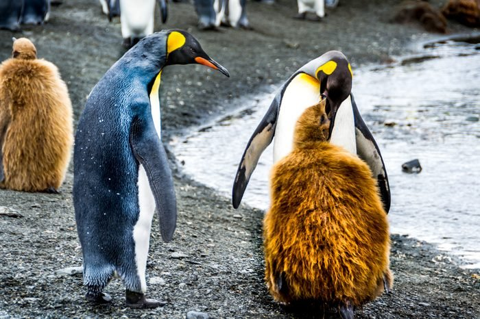 King penguin feeding its molting chick with regurgitated food, Antarctic, South Georgia