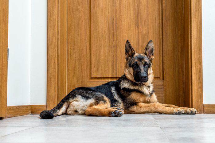 Five month German Shepherd puppy waiting by the doors