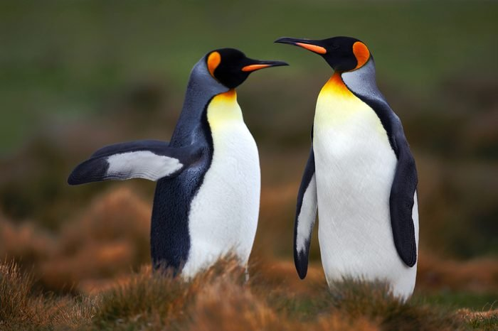 Pair of penguins with green background in Falkland Islands. Love in the nature habitat. Two birds in the grass.