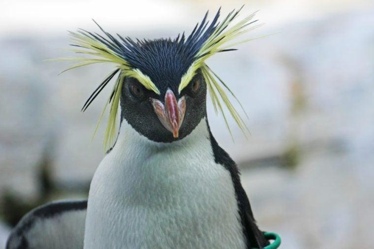 Rockhopper penguin portrait