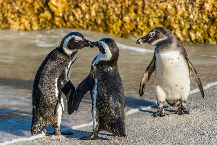Kissing African penguins on the beach. African penguin ( Spheniscus demersus) also known as the jackass penguin and black-footed penguin. Boulders colony. Cape Town. South Africa