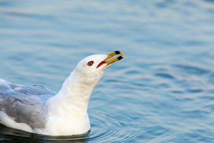California Gull (Larus californicus) Calling. Shoreline Lake, Santa Clara County, California, USA