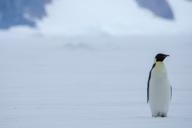Lone Emporer Penguin
