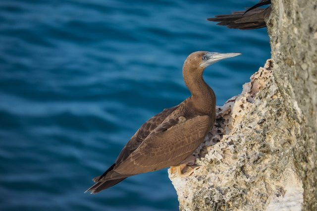 Brown Footed Booby bird Views around the Caribbean island of Curacao