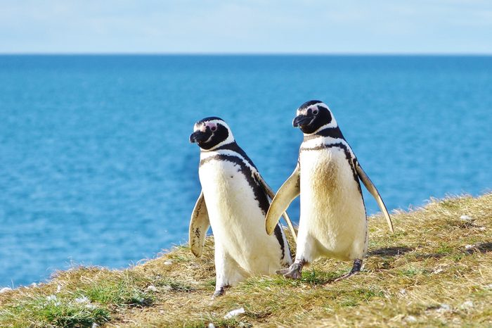 Penguin couple goes for an afternoon walk