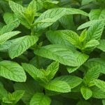 What's the Difference Between Peppermint and Spearmint?