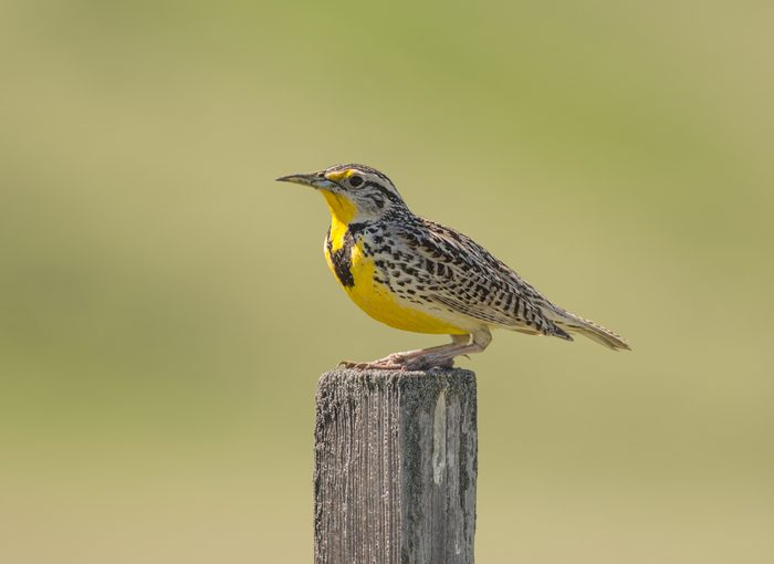 Western meadowlark (Sturnella neglecta) perched on a wooden post against a soft green background