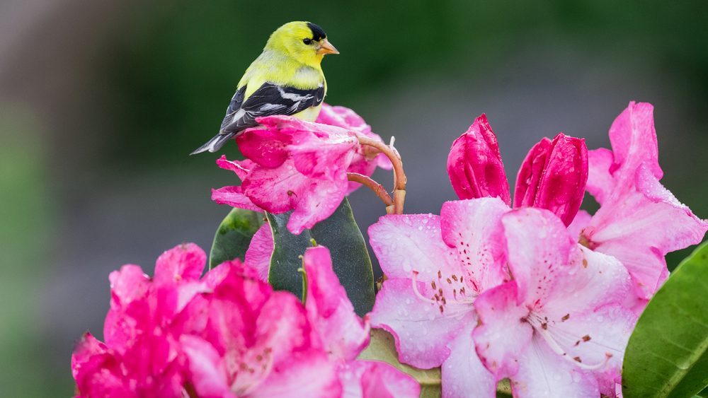 Colors of Summer: The American or Willow Goldfinch is the state bird of Washington, here perched on one of the iconic flowers of the Pacific Northwest, a rhod0dendron.