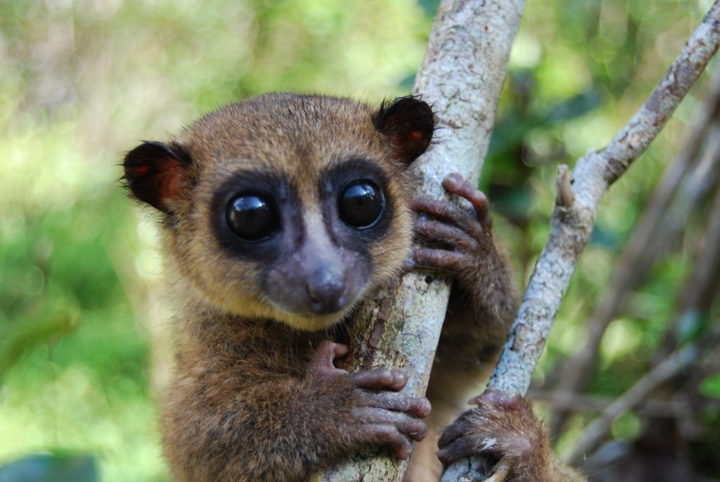 dwarf lemur