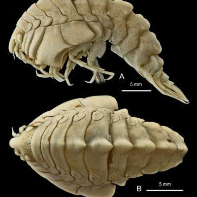 amphipod Epimeria quasimodo