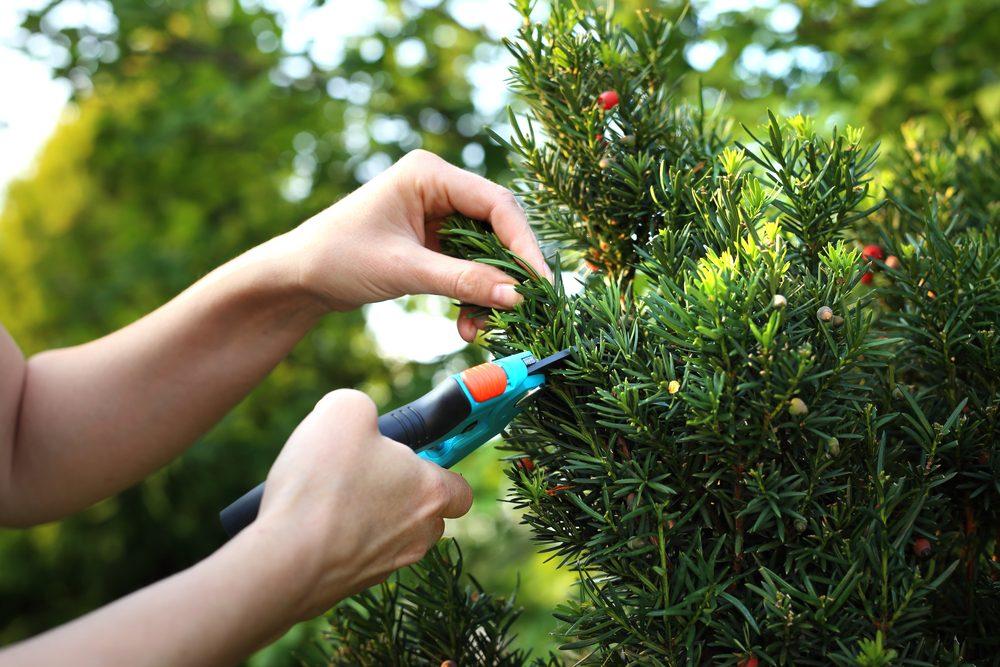 Cut bush in the garden. Gardener pruned yew shrub shears.