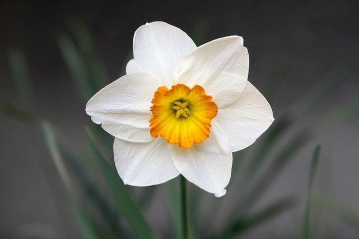 Single white and orange narcissus poeticus, ornamental flower in spring garden