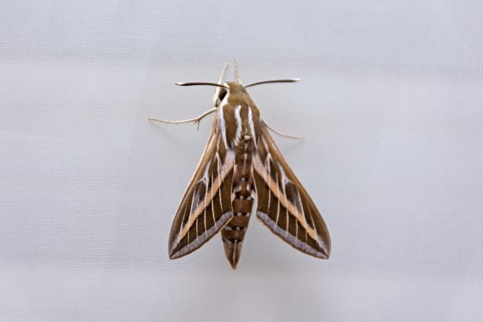 large hawk moth Hyles livornica on a white curtain