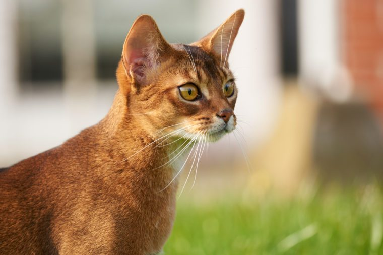 Abyssinian cat with big eyes on lawn in the garden