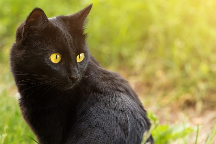 Beautiful bombay black cat portrait in profile with yellow eyes and attentive look in green grass in nature. ?at is looking in the right