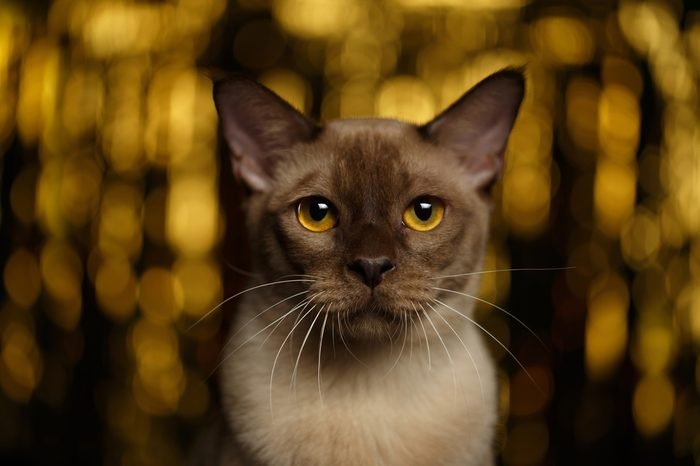 Closeup portrait of Burmese Cat on happy new year background