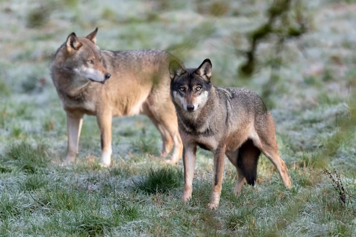 Grey Wolfs at the Wildpark in Silz, Germany - 11 Dec 2018