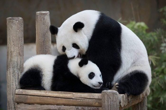 Panda Birthday, Kuala Lumpur, Malaysia - 14 Jan 2019