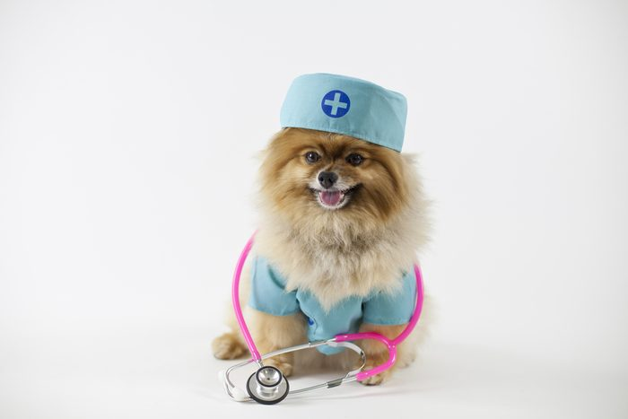 Pomeranian posed and dressed as a surgeon with stethoscope around neck in surgical scrubs