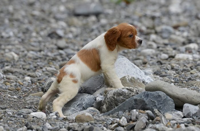 Cute dogs, Cutest dog breeds, Cute puppies, Puppy of epagneul breton - brittany dog
