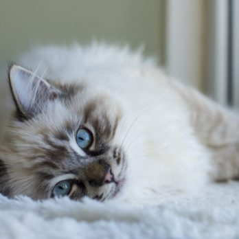 8 Cat Breeds with the Friendliest Personalities