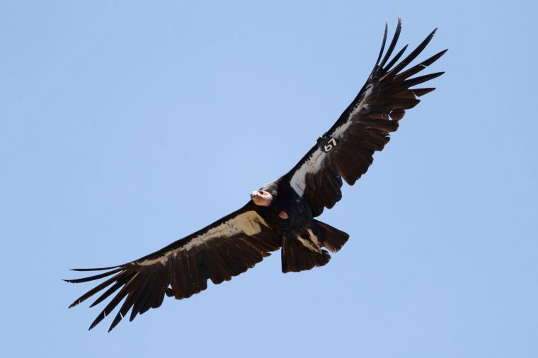 Return of the Condor, Big Sur, USA - 21 Jun 2017