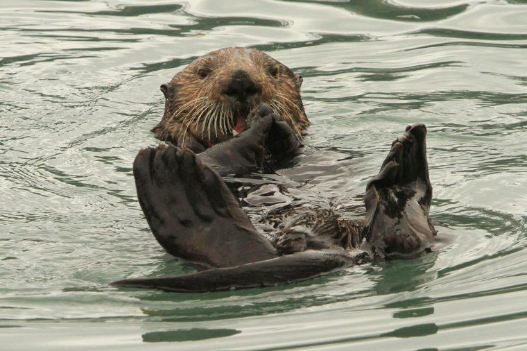 Sea Otters Alaska Seafood, Seward, USA - 21 May 2016