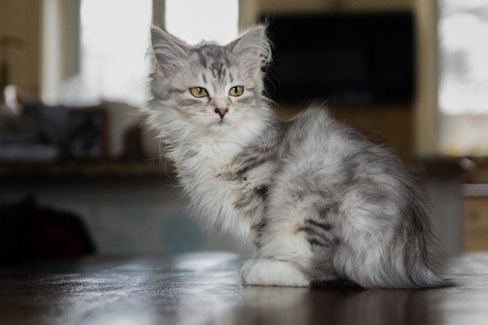 baby Siberian kitten cat indoors