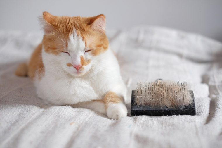 relaxed cute cat and a comb full of pet fur