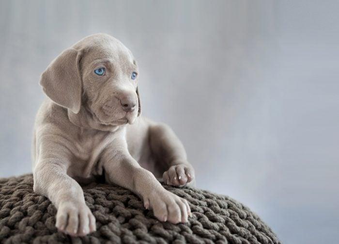 Cute dogs, Cutest dog breeds, Cute puppies, puppy of weimaraner sitting on grey cushion in grey light background